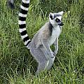 Ring-tailed Lemur by Michele Burgess