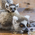Ring-tailed Lemur Mother Drinking by Suzi Eszterhas