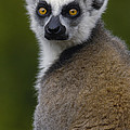 Ring-tailed Lemur Portrait Madagascar by Pete Oxford