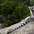 Ring-tailed Lemur Resting Madagascar by Pete Oxford