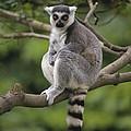 Ring-tailed Lemur Sitting Madagascar by Gerry Ellis