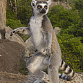 Ring-tailed Lemur Standing Madagascar by Pete Oxford