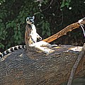 Ring Tailed Lemur by Tom Winfield