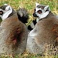 Ring-tailed Lemurs Lemur Catta by Millard H. Sharp
