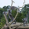 Ring Tailed Lemurs Playing by Chris Flees