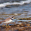 Ringed Plover  by Dreamland Media