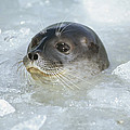 Ringed Seal Surfacing In Brash Ice by Tui De Roy