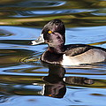 Rings Around Ring-necked Duck by Andrew McInnes