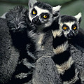 Ringtailed Lemurs Portrait Endangered Wildlife by Dave Welling