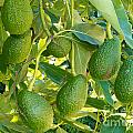 Ripe Avocado Fruits Growing On Tree As Crop by Stephan Pietzko