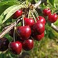 Ripe Cherries by Jeff Swan