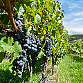 Ripe Grapes Right Before Harvest In The Summer Sun by U Schade