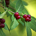 Red Berries Botanical Christmas Art