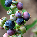 Ripening Blueberries by John Haldane