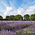 Ripening English Lavender In Hampshire by Alex Cassels