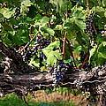 Ripening Grapes by Carol Groenen