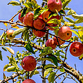 Ripening In The Sun by Zina Stromberg