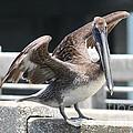 Pier Pelican by Carol Groenen