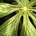 Rising Star The Mayapple Of Spring by LeeAnn McLaneGoetz McLaneGoetzStudioLLCcom