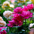 Rittenhouse Square Roses by Rona Black
