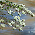 River Dogwood by Alice Cahill