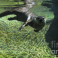 River Otter-7714 by Gary Gingrich Galleries