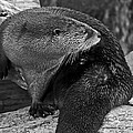 River Otter In Black And White by Kate Brown