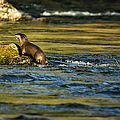 River Otter On A Rock by Belinda Greb