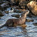 River Otter by Ronald Lutz