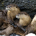 River Otter Trio   #0922 by J L Woody Wooden