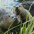 River Otters by Doug Herr