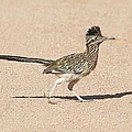 Road Runner On The Road by Tom Janca