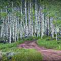 Road Through A Birch Tree Grove by Randall Nyhof