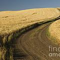 Road Through Wheat Field by John Shaw