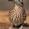 Greater Roadrunner No 1 by Jerry Fornarotto