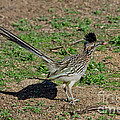 Roadrunner Male With Food by Anthony Mercieca