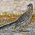 Roadrunner With Lizard by Anthony Mercieca