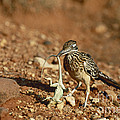 Roadrunner With Lizard by Wyman Meinzer/Okapia