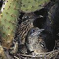 Roadrunners In Nest by Anthony Mercieca