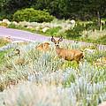 Roadside Buck by Scott Pellegrin