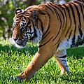Roaming Tiger by Vanessa Valdes