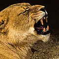 Roar Of A Lioness by Chakravarthy Kotaru