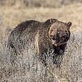 Roaring Grizzly by Keith R Crowley