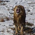 Roaring Lion by Darlene Grubbs