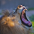 Roaring Lion by Jay Campbell
