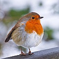 Robin Redbreast by Scott Carruthers