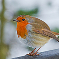 Robin 3 by Scott Carruthers