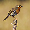 Robin After Taking A Bath by Guido Montanes Castillo