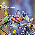 Robin And Berries by Paul Freidlund