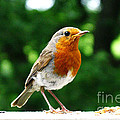 Robin Bird Photograph by Tom Conway